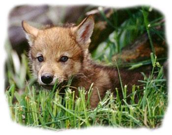 ulve i flokke